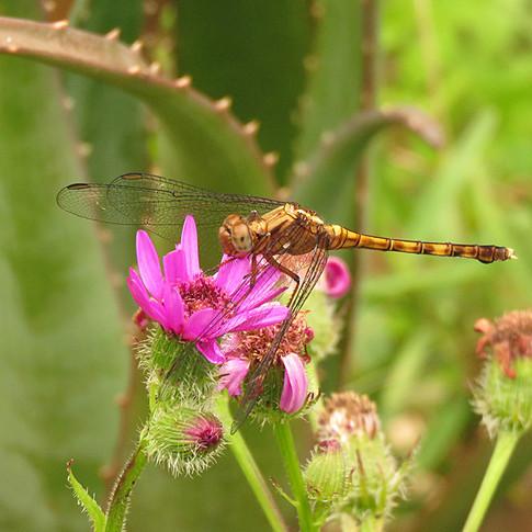 Dragonfly on Senecio speciosus