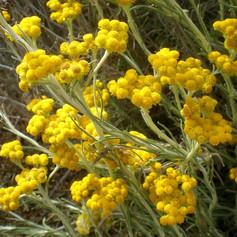 Helichrysum species