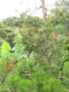 Erythrina humeana