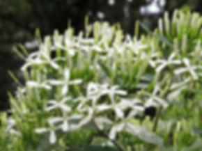 Pavetta lanceolata