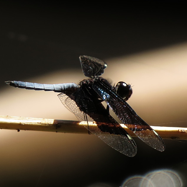 Palpopleura lucia