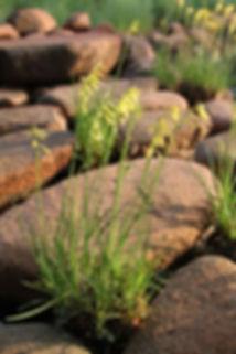 Kniphofia pauciflora
