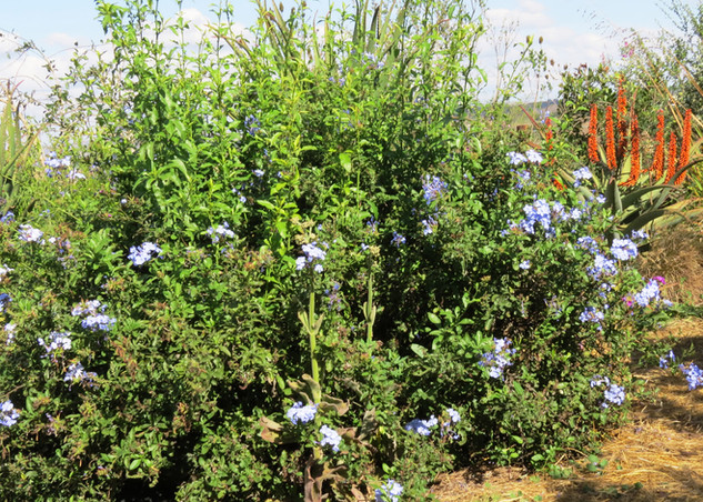 Plumbago-Royal-Cape-2