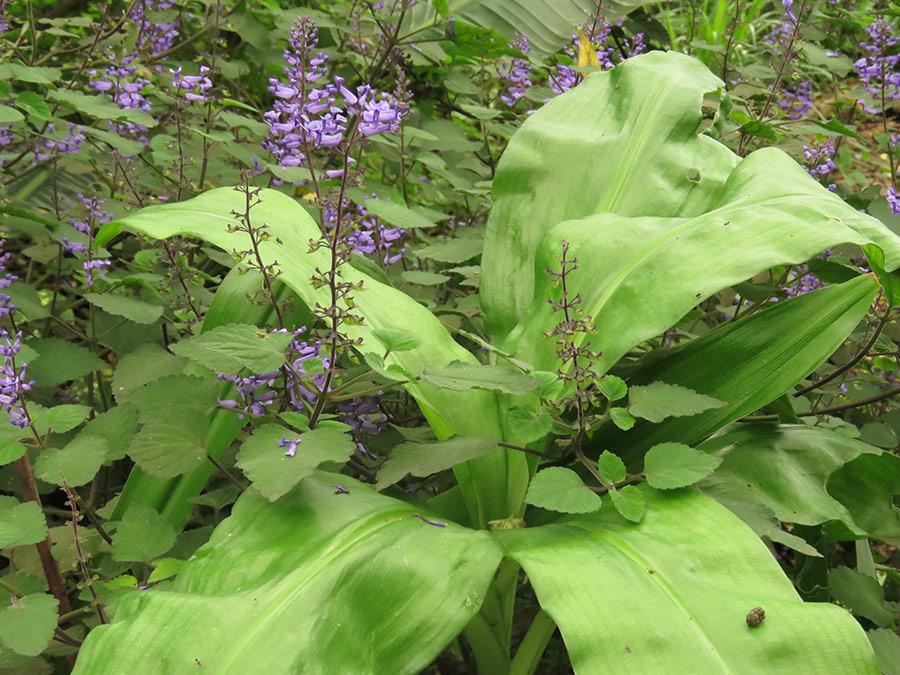 Crinum and Plectranthus zuluensis