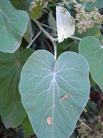 Helichrysum populifolium
