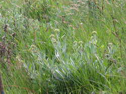 Grassland meadow: Grasses and Forbs