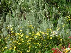 Cineraria & Ursinia sericea