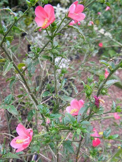 Hibiscus praeteritus