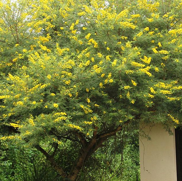 Acacia-karroo.jpg