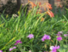 Cyrtanthus mackenii