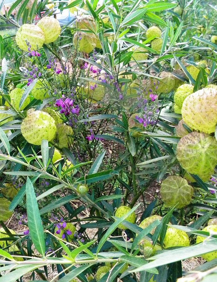 Purple broom and Hairy Balls