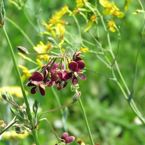 Pelargonium schlecteri