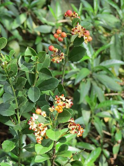 Gymnosporia arenicola