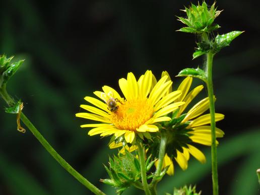 Bee-on-Berkheya