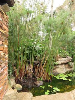Cyperus species