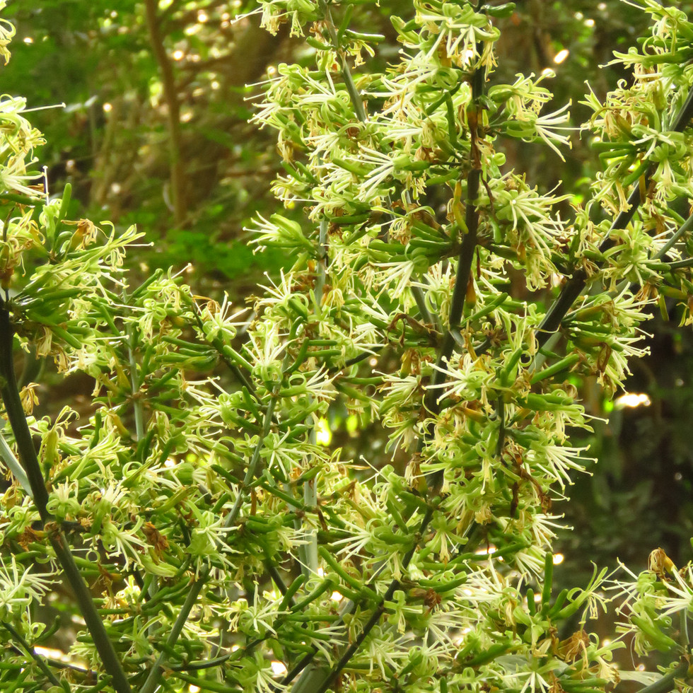 Dracaena aletriformis
