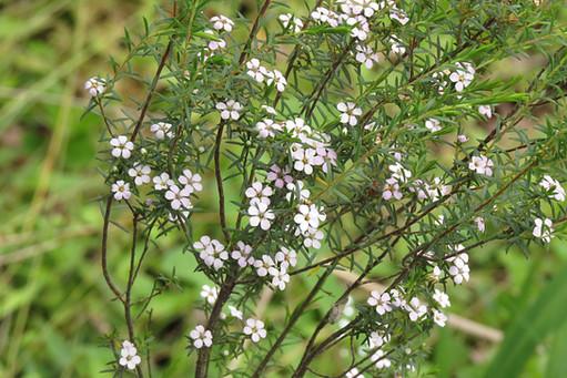 Coleonema species