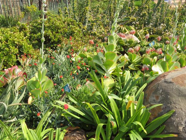 Crassula ovata with succulents