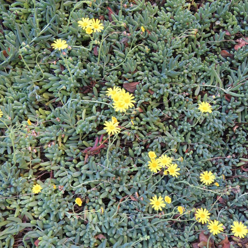 Crassothonna cacalioides: Othonna