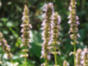 Plectranthus spicatus
