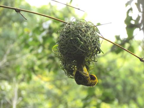 Weaver-nest of grass