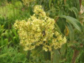 Heteropyxis natalensis