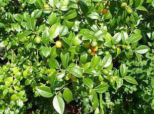 Cassinopsis illicifolia