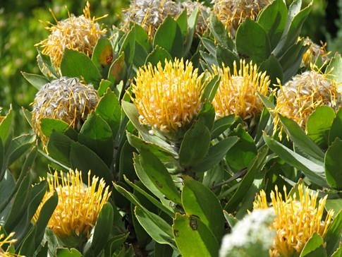 Leucospermum oleifolium
