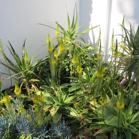 Aloe pluridens, Bulbine latifolia, and Curio crassulfolius