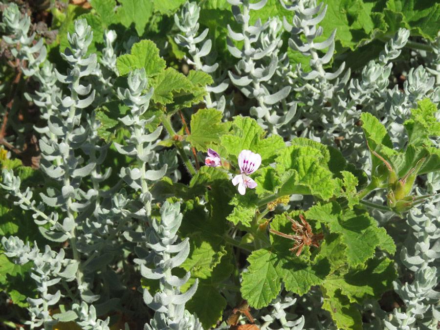 Helichrysum and Pelargonium