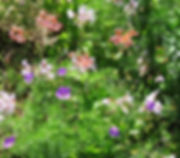 Plectranthus ambiguus  beneath Apodytes dimidata