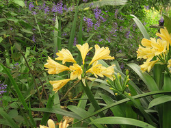 Purple Plecs and Yellow Clivia