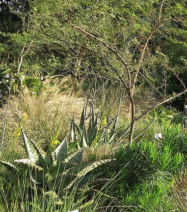 Aloe marlothii, Bulbine latifolia in the grass