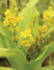 Hypoxis colchicifolia