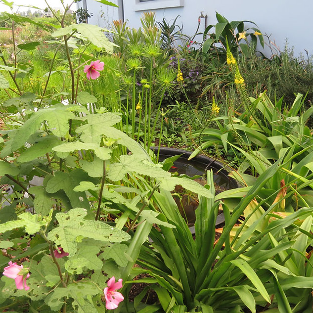 Anisodontea julii in the foreground