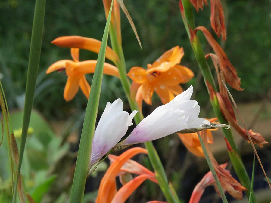 Watsonia & Dierama spring bulbs