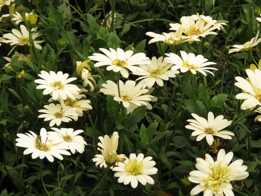Osteospermums - single whites