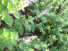 Lasiosiphon triplinervis