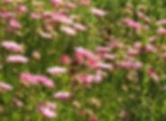 Plectranthus neochilus & Scabiosa
