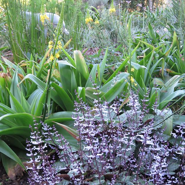 Bulbine & Plectranthus oertendahlii