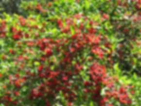 Ochna serrulata