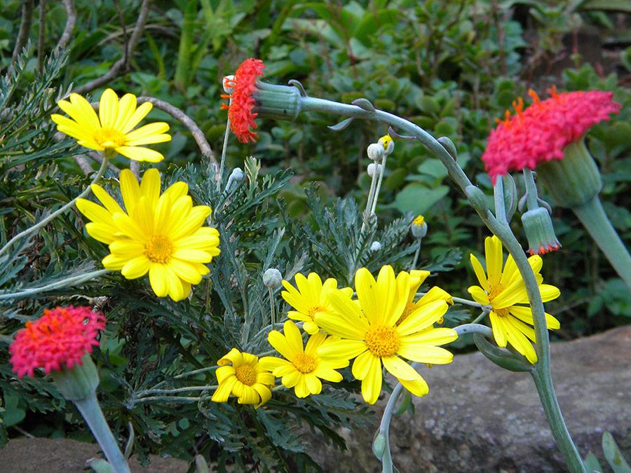 Kleinia fulgens and Euryops pectinat