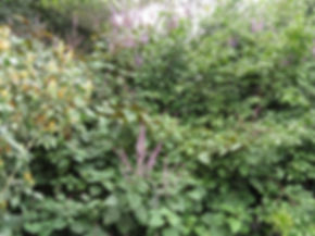 Metarungia longistrobus
