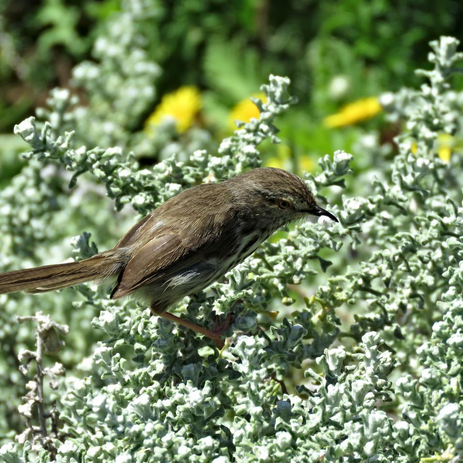 An LBJ collects 'felt' to line its nest