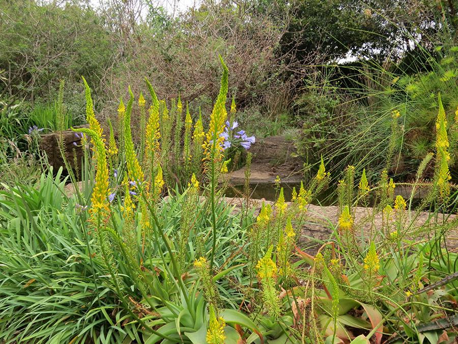 Bulbine latifolia