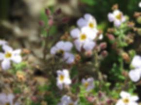 Chaenostoma cordatum
