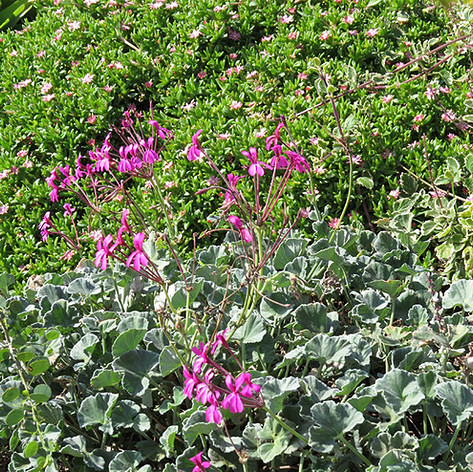 Pelargonium-reniforme & Delosperma