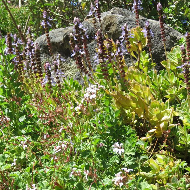 Plectranthus neochilus & Pelargonium species