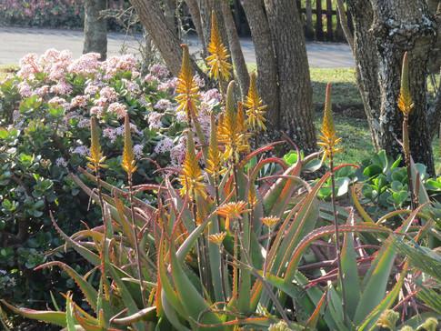 Crassula-ovata-and-Aloe-vanbalenii
