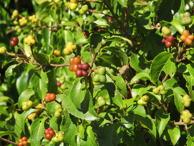 Grewia-occidentalis-(2)